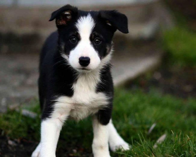 Бордер колли порода собак