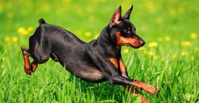 Карликовый пинчер порода собак