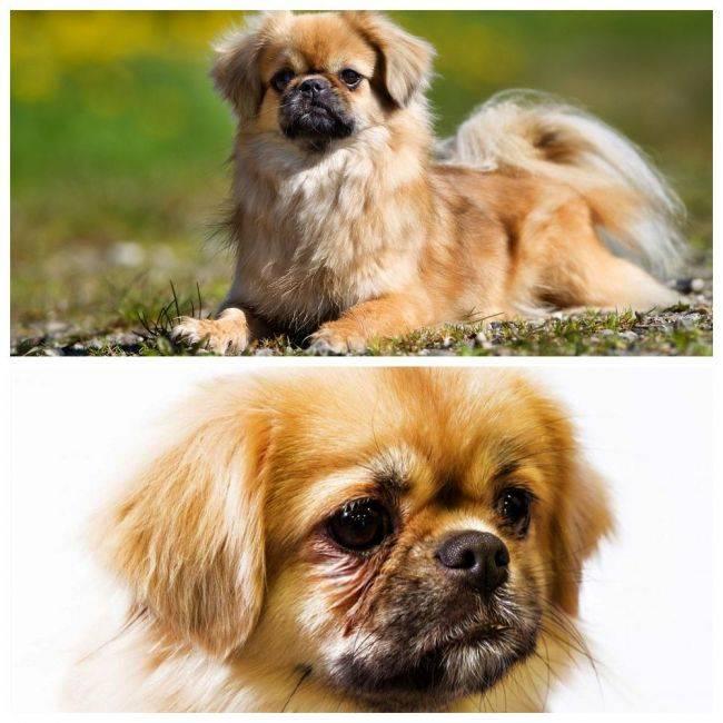 Тибетский спаниель порода собак