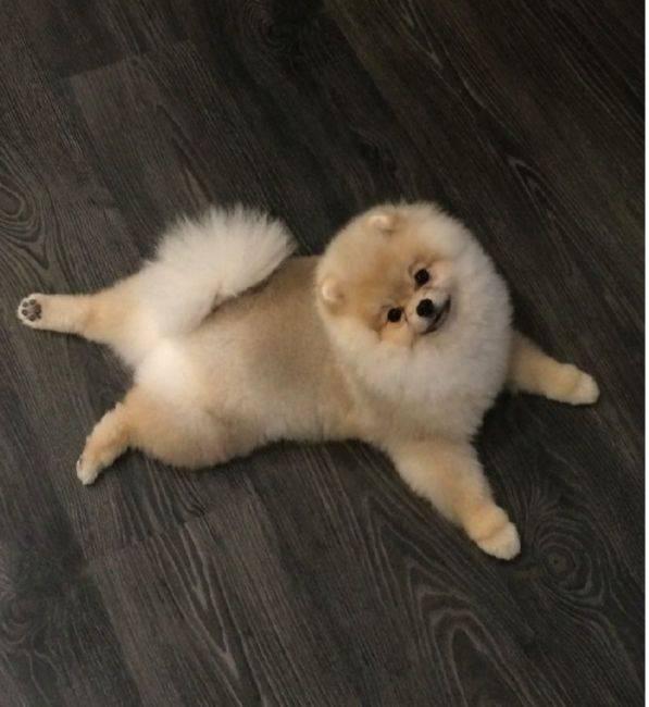 Шпиц порода собак