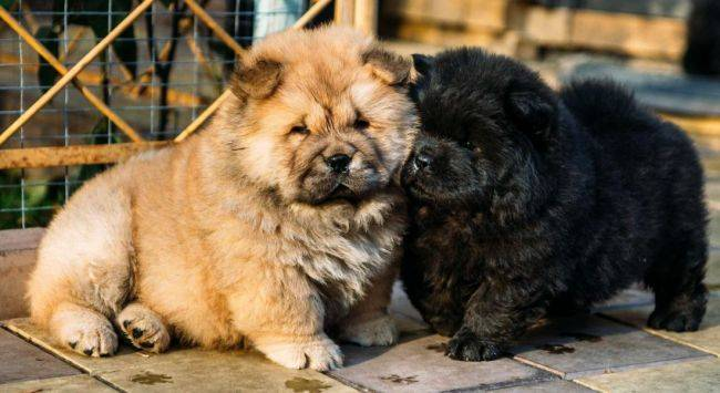 Чау-чау порода собак